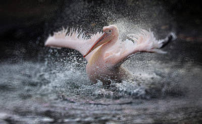 Pelican Wall Art - Photograph - Bathing Fun ..... by Antje Wenner-braun