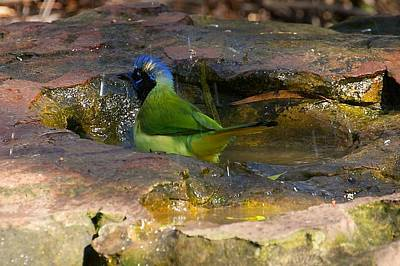 Photograph - Bathing Green Jay by Stuart Litoff