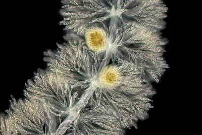 Algal Photograph - Batrachospermum Alga by Gerd Guenther