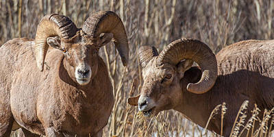 Photograph - Battling Rams by Kevin  Dietrich