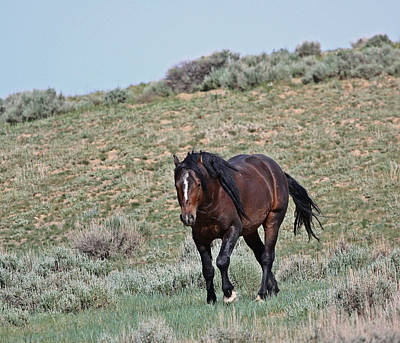 Photograph - Bay Mustang Stallion by Jean Clark