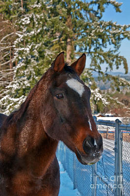 Photograph - Bay Thoroughbred Horse Closeup In Snow Art Prints by Valerie Garner