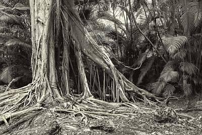 Ficus Aurea Photograph - Strangler Fig by Rudy Umans
