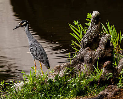 Photograph - Bayou Bird by Melinda Ledsome