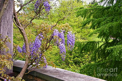Wisteria In Bloom Photograph - Be There Now -- First Of May Pennsylvania by Byron Varvarigos