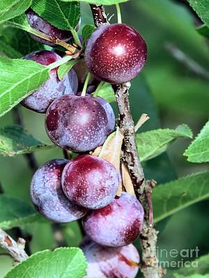 Photograph - Beach Plums by Janice Drew