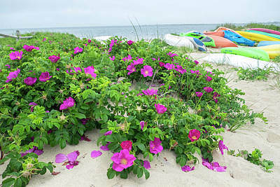 Beach Roses, Madaket, Nantucket Art Print