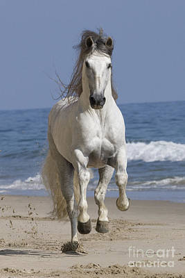 Grey Horse Photograph - Beach Run by Carol Walker