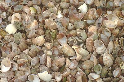 Art Print featuring the photograph Beached Shells by Suzanne Powers