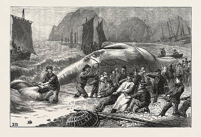 Beaching A Whale At Beer, South Devon, Engraving 1876, Uk Print by English School