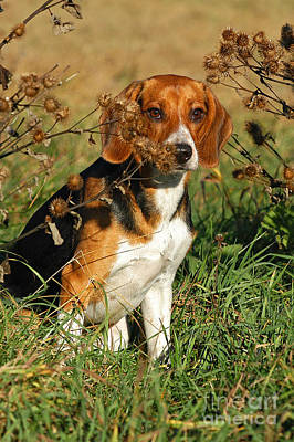 Beagle Dog Sitting In Grass Print by Dog Photos