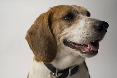Beagle Photograph - Beagle by Gary Marx