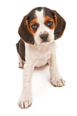 Beagle Mix Puppy With Sad Look Art Print