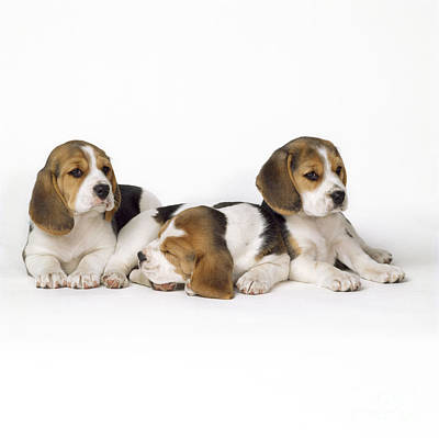 Beagle Dog Photograph - Beagle Puppies, Row Of Three, Second by John Daniels