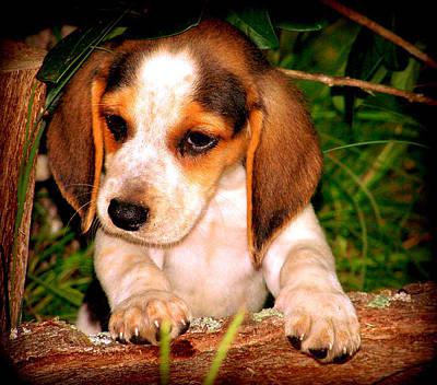 Beagle Puppy 1 Art Print by Lynn Griffin