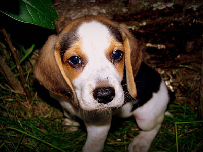 Beagle Puppy 2 Art Print by Lynn Griffin