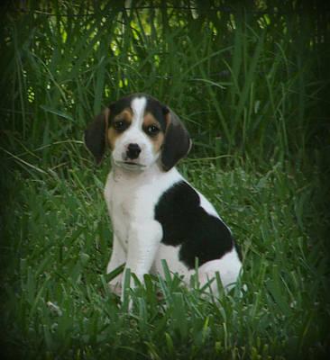Beagle Puppy 4 Art Print by Lynn Griffin