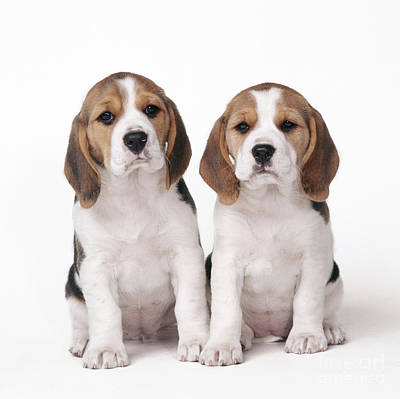 Bitch Photograph - Beagle Puppy Dogs by John Daniels
