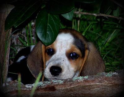 Beagle Puppy Art Print by Lynn Griffin