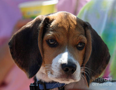 Photograph - Beagle Puppy by Terri Mills