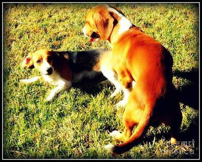 Breed Digital Art - Beagles Playing by Meagan Hoelzer