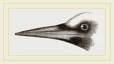 Woodpecker Drawing - Beak Of Great Black Woodpecker by Litz Collection