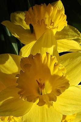 Beamming Daffodils Art Print by Bruce Bley