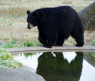 Photograph - Bear 2 by Phyllis Spoor