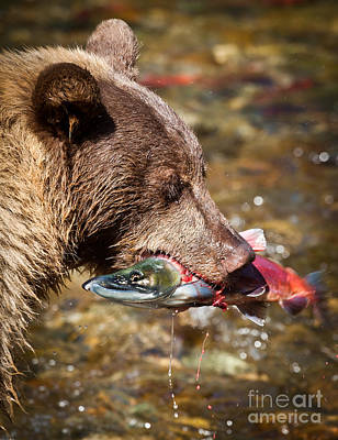 Kokanee Salmon Photograph - Bear And Kokanee by Webb Canepa