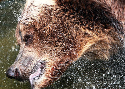 Photograph - Bear Bath by John Rizzuto