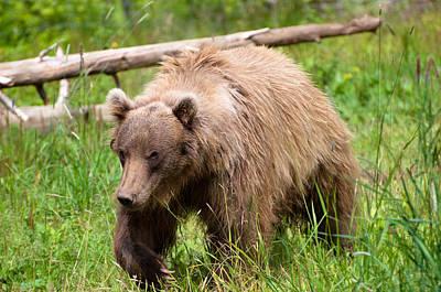 Photograph - Bear by Bill Howard