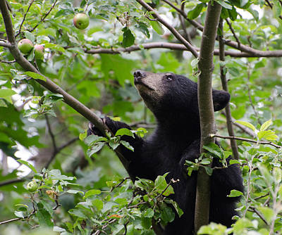 Brian Rock Photograph - Bear Cub And Apples by Brian Rock