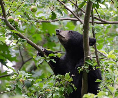 Brian Rock Wall Art - Photograph - Bear Cub And Apples by Brian Rock