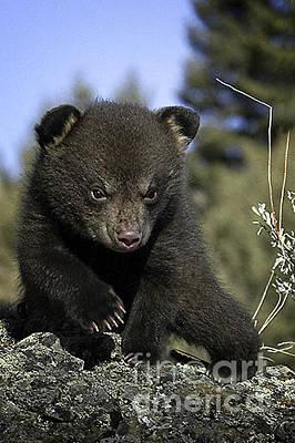 Bear Photograph - Bear Cub-animals-10 by Wildlife Fine Art