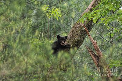 Photograph - Bear Cub Climbing Tree Growling by Dan Friend