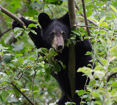 Brian Rock Photograph - Bear Cub In Tree by Brian Rock