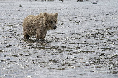 Photograph - Bear Cub Looking Upstream For Its Mother by Dan Friend