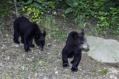 Photograph - Bear Cubs by John Haldane