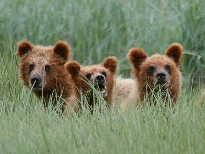 Bear Cubs Peeking Out Art Print