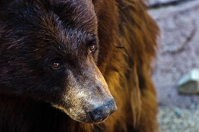 Photograph - Bear Gaze by Dave Dilli