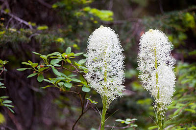 Photograph - Bear Grass Blossoms by Fran Riley