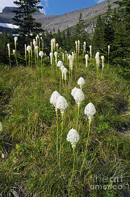 Photograph - Bear Grass by Cindy Murphy - NightVisions