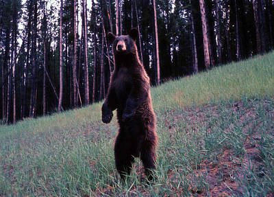 Photograph - Bear by John Mathews