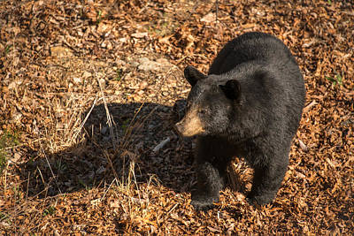 Photograph - Bear by Joye Ardyn Durham