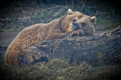 Photograph - Bear On A Log by Chris Boulton