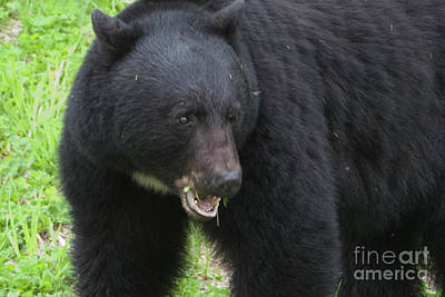 Art Print featuring the photograph Bear by Rod Wiens