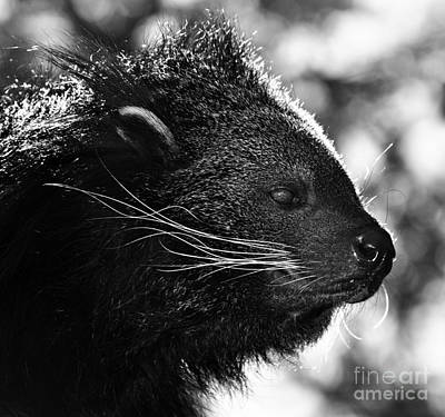 Photograph - Bearcat Or Binturong by Mindy Bench
