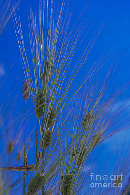 Photograph - Bearded Barley by Debra K Roberts