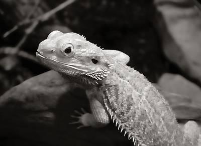 Bearded Dragon Lizard Print by Jim Hughes