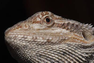 Ragon Photograph - Bearded Dragon Macro by Clifford Pugliese
